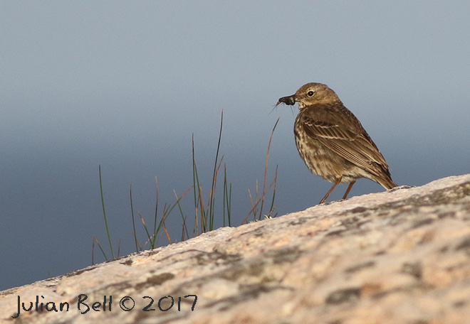 Rock Pipit, a local breeder