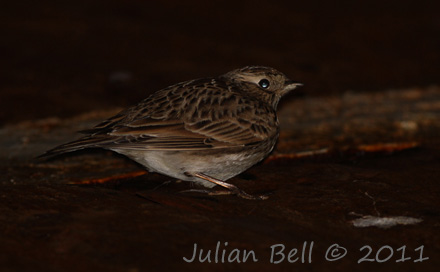 Skylark resting on deck at night