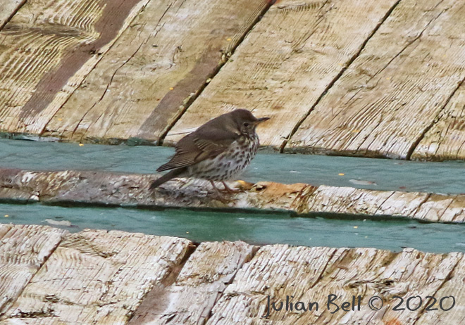 Song Thrush takes a rest on the deck, April 2020