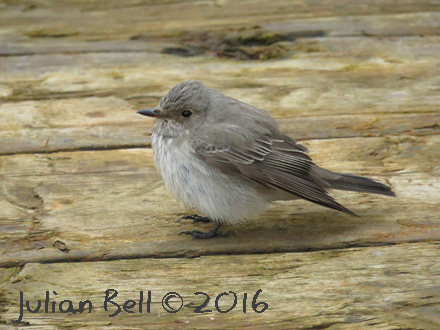 Spotted Flycatcher, Danish Sector, May 2016