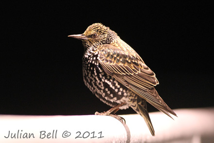Night time Starling resting on offshore survey vessel