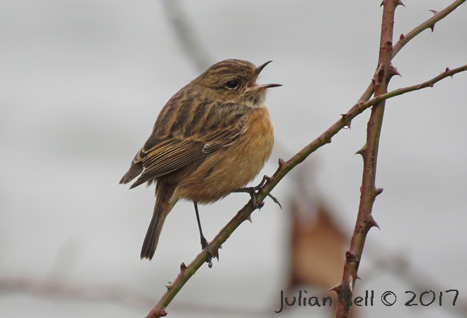 Female Stonechat, Gressholmen, Oslo, March 2017