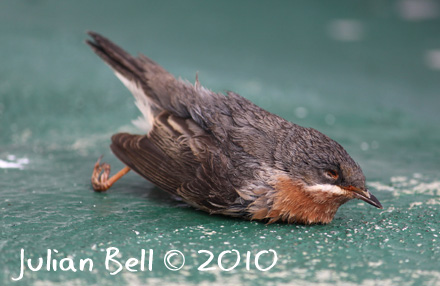 Male Subalpine Warbler of eastern race found dead onboard