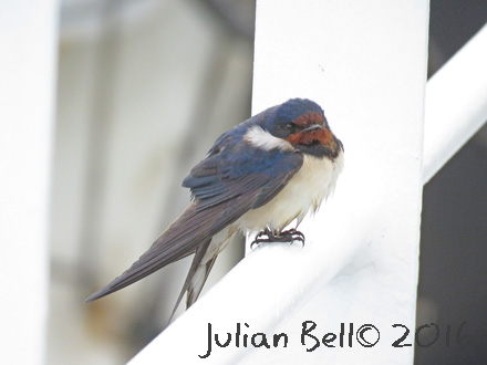 Swallow resting on a survey vessel in the Danish Sector, May 2016