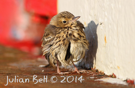 Tree Pipit resting offshore