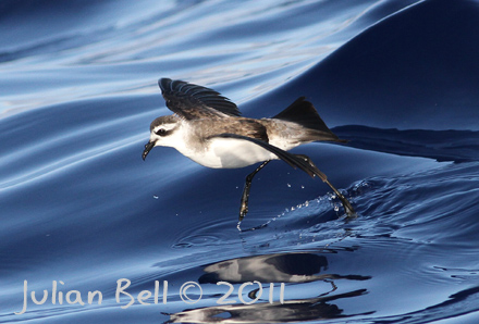 White-faced Storm-petrel, Madeira