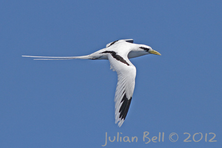 White-tailed Tropicbird, off Western Australia, August 2012