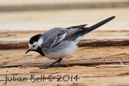 White Wagtail foraging on the deck of an offshore vessel