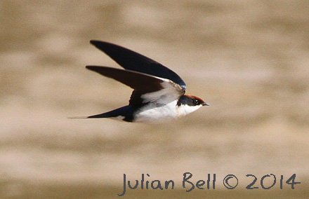 Wire-tailed Swallow, Mekong, November 2014