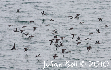 Yelkouan Shearwaters moving through the straits of Marmora