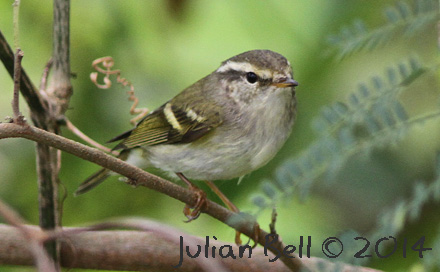 Yellow-browed Warbler, Luang Prabang, Laos, November 2014