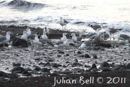Yellow-legged Gulls drinking on the shore