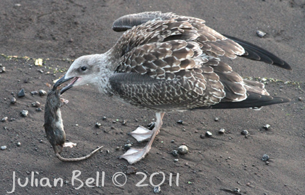 Yellow-legged Gull with rat, Funchal, Maderia