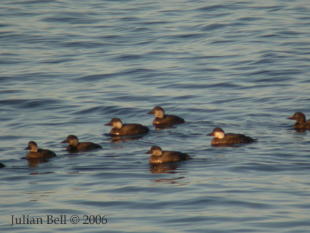 Common Scoter flock in winter