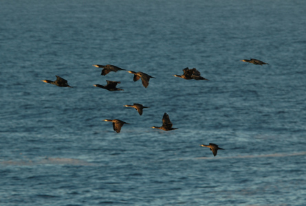 Migrating Great Cormorant and European Shag