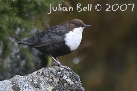 White-throated Dipper - Fossekall - Cinclus cinclus