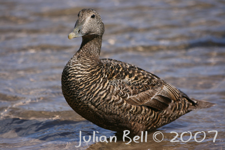 Eider male, Seahouses harbour