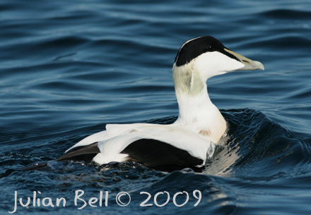 Common Eider / Ærfugl