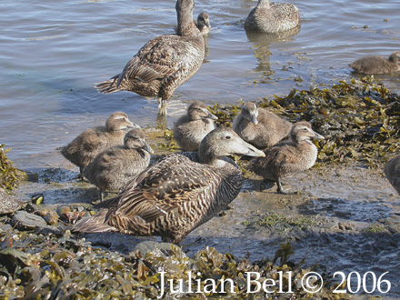 Eider Ducks with young