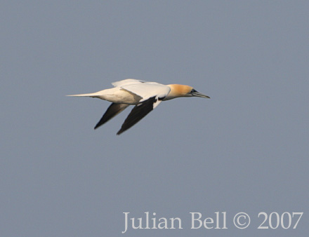 Northern Gannet, March 2007