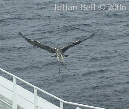 Grey Heron landing on a survey vessel in the North sea