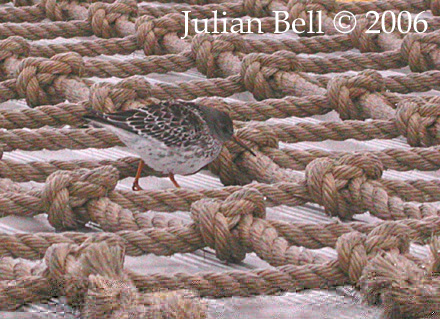 Purple Sandpiper on the helideck