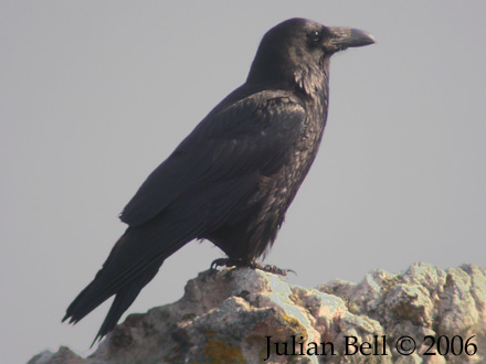 Raven, one of the typical Øygarden birds