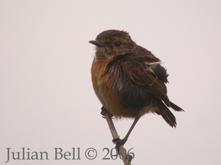 Stonechat - a common breeder in the dunes along the coast