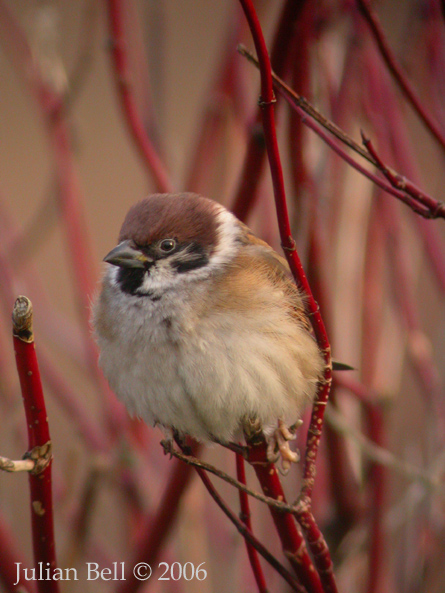 Natural born birder galleries tree sparrow for 2 little birds sat on my window