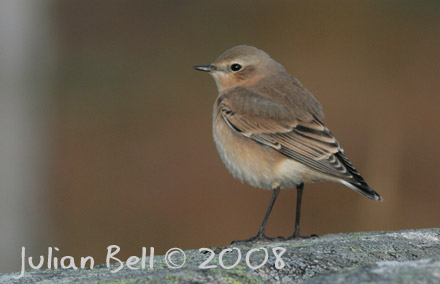 Northern Wheatear, Breivik, Øygarden