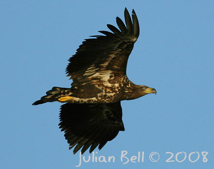 White-tailed Eagle - one of Øygarden's speciality birds