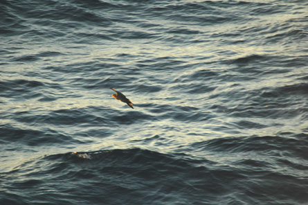 Wedge-tailed Shearwater (dark morph)